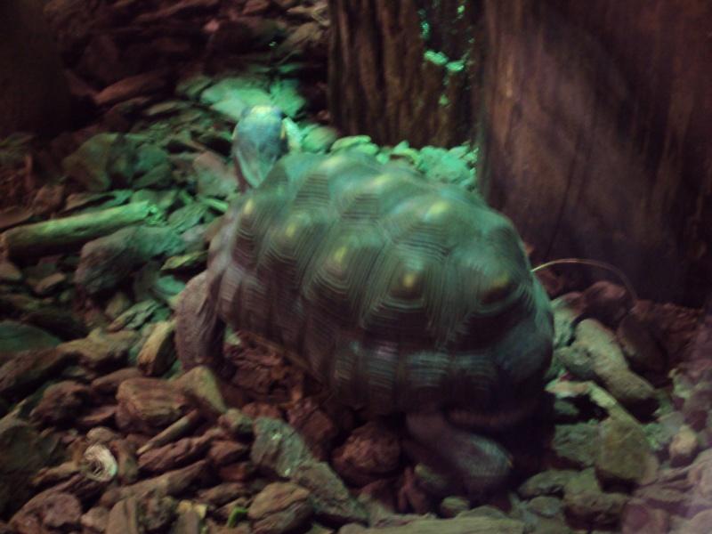 """Visite de """"Pairi daiza"""" (Belgique). """"les tortue"""" Dsc04310"""