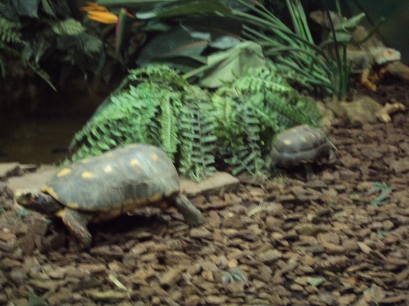 """Visite de """"Pairi daiza"""" (Belgique). """"les tortue"""" Dsc04313"""