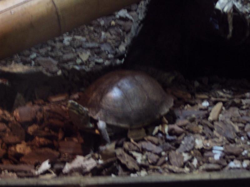 """Visite de """"Pairi daiza"""" (Belgique). """"les tortue"""" Dsc04314"""