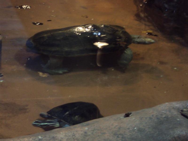"""Visite de """"Pairi daiza"""" (Belgique). """"les tortue"""" Dsc04315"""
