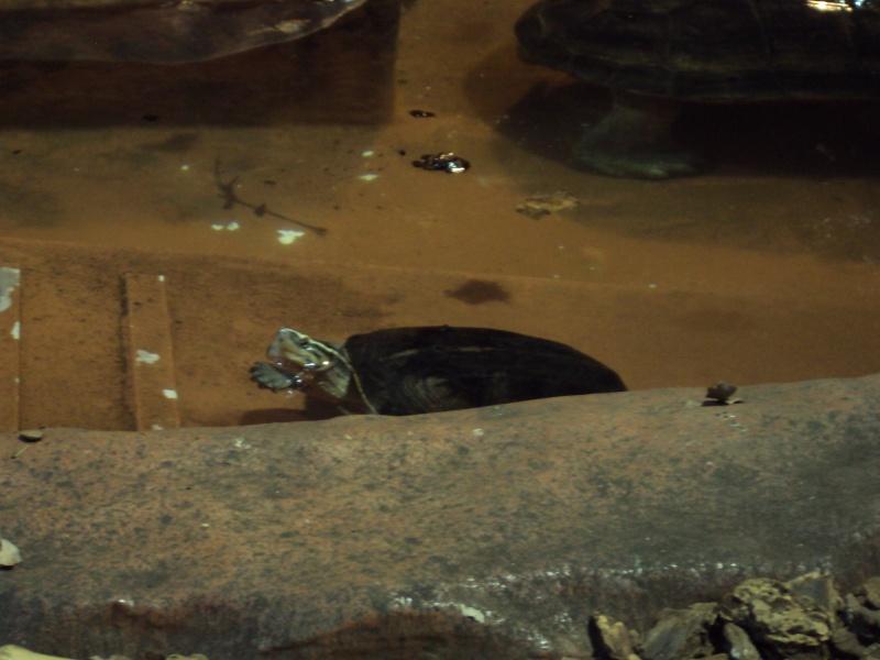 """Visite de """"Pairi daiza"""" (Belgique). """"les tortue"""" Dsc04316"""