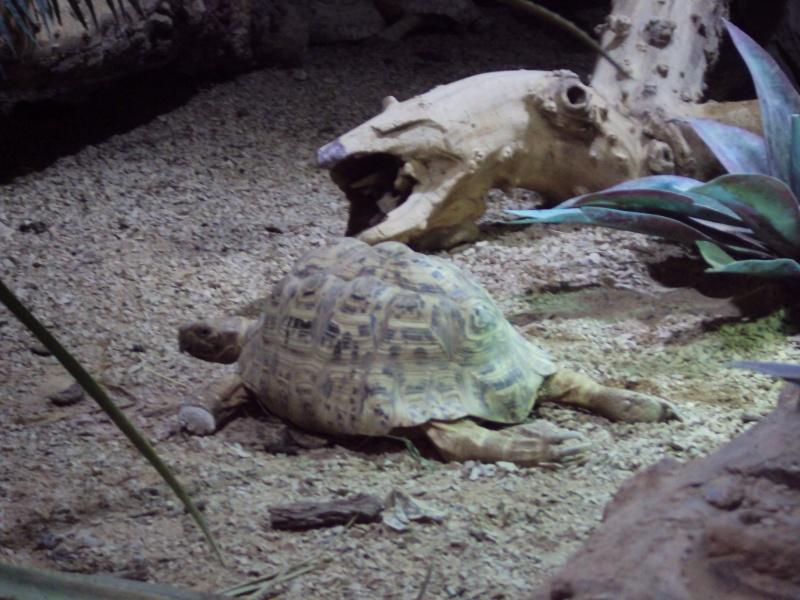 """Visite de """"Pairi daiza"""" (Belgique). """"les tortue"""" Dsc04317"""
