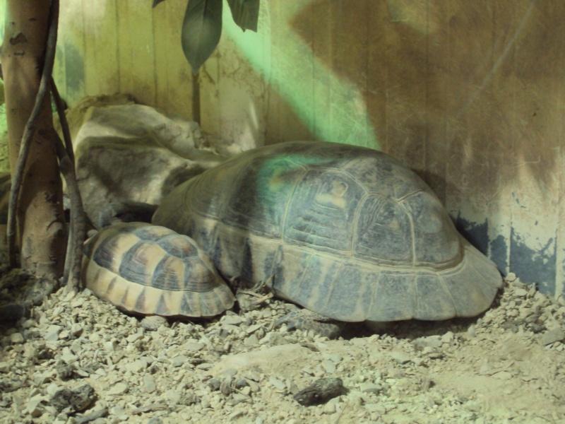 """Visite de """"Pairi daiza"""" (Belgique). """"les tortue"""" Dsc04322"""