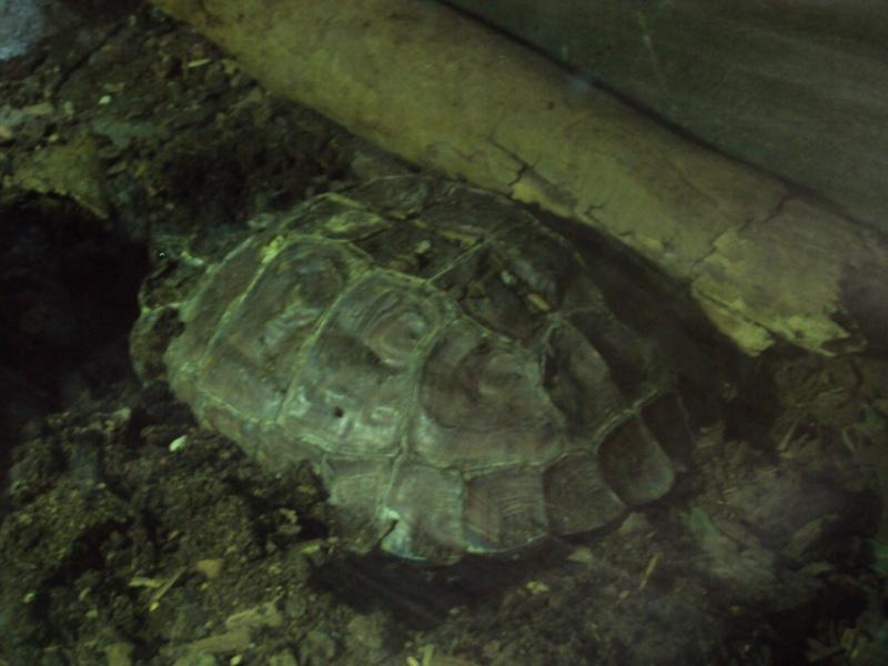 """Visite de """"Pairi daiza"""" (Belgique). """"les tortue"""" Dsc04329"""