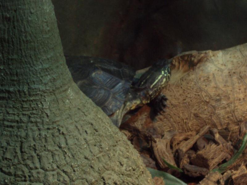 """Visite de """"Pairi daiza"""" (Belgique). """"les tortue"""" Dsc04333"""