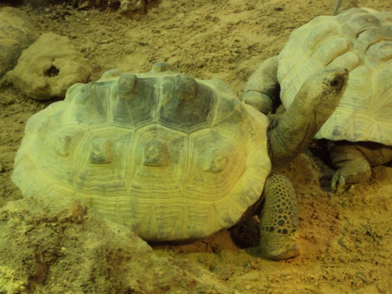 """Visite de """"Pairi daiza"""" (Belgique). """"les tortue"""" Dsc04338"""