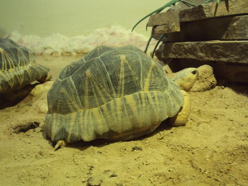 """Visite de """"Pairi daiza"""" (Belgique). """"les tortue"""" Dsc04341"""