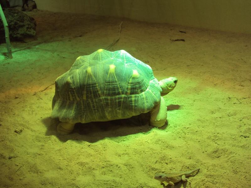 """Visite de """"Pairi daiza"""" (Belgique). """"les tortue"""" Dsc04343"""
