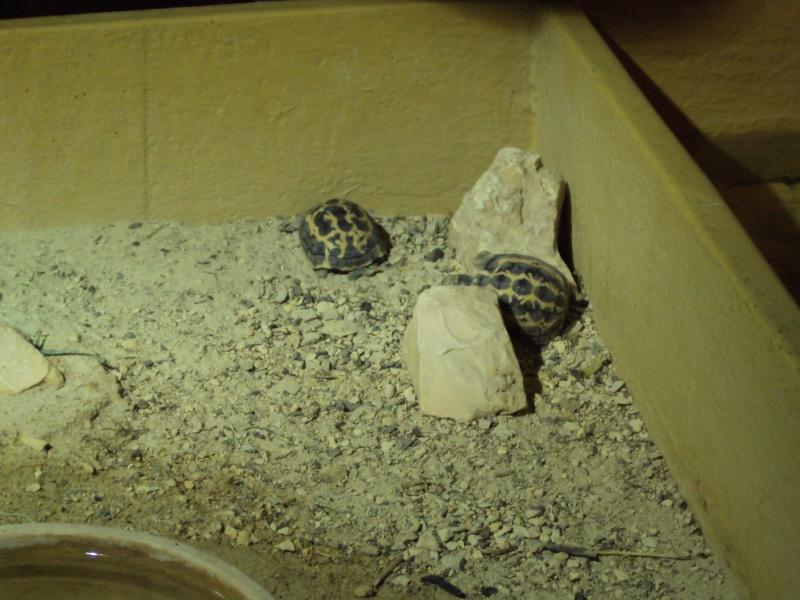 """Visite de """"Pairi daiza"""" (Belgique). """"les tortue"""" Dsc04416"""