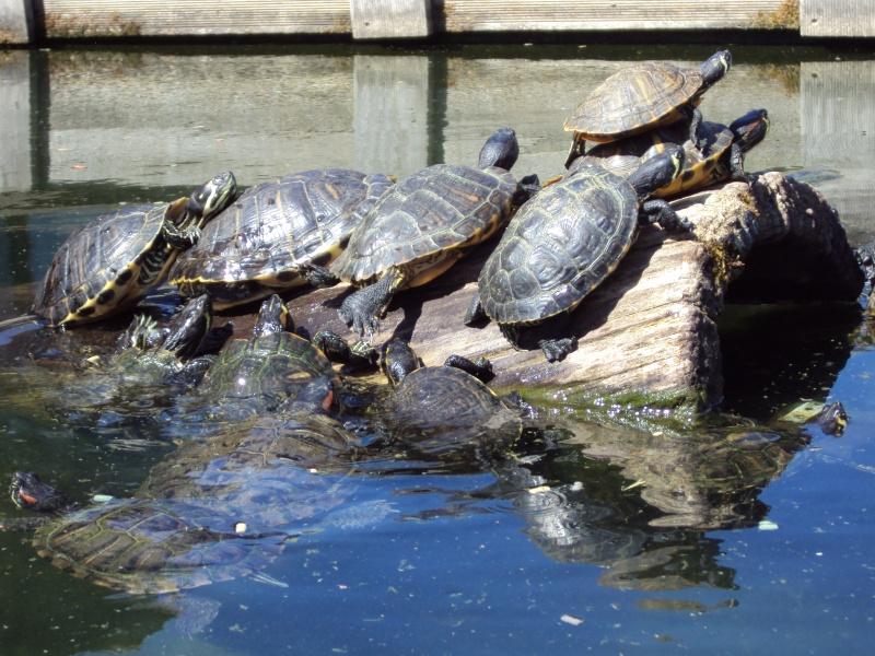 """Visite de """"Pairi daiza"""" (Belgique). """"les tortue"""" Dsc04418"""