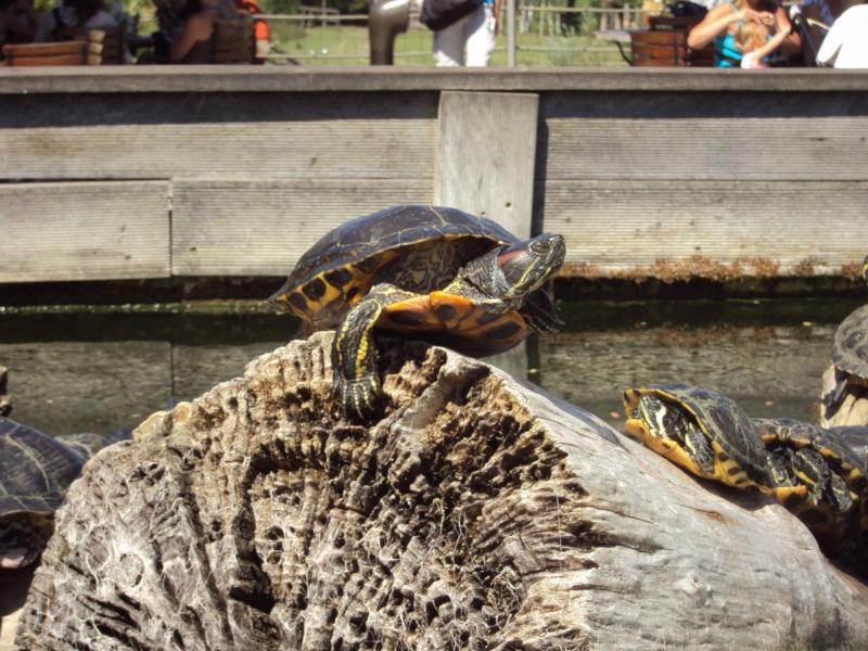 """Visite de """"Pairi daiza"""" (Belgique). """"les tortue"""" Dsc04419"""