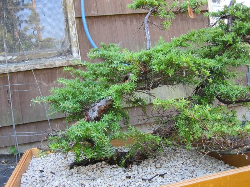 collecting hemlock in the pacific NW Yamado10