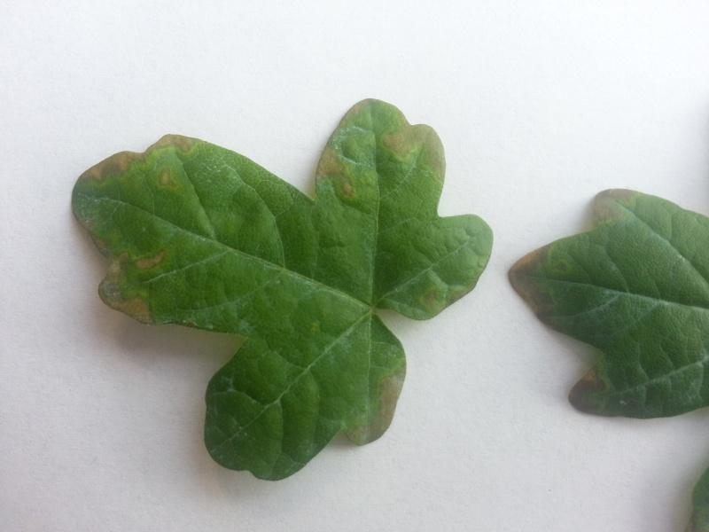 Problema foglie bonsai acero 20130713