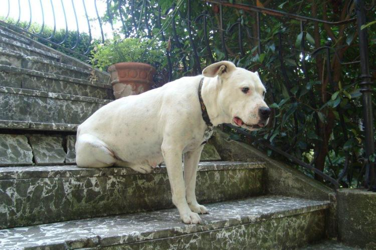 Après des années de souffrance, Séguilla, Dogue argentine de 7 ans attend sa famille Dsc05211