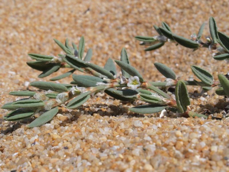 plantes de dunes : Sedum, Elytrigia, Vincetoxicum, Paronychia, Polygonum  09081810