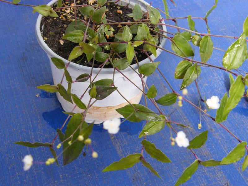 [Gibasis pellucida ] Qui est cette petite  Commelinaceae (9)  13_gib10