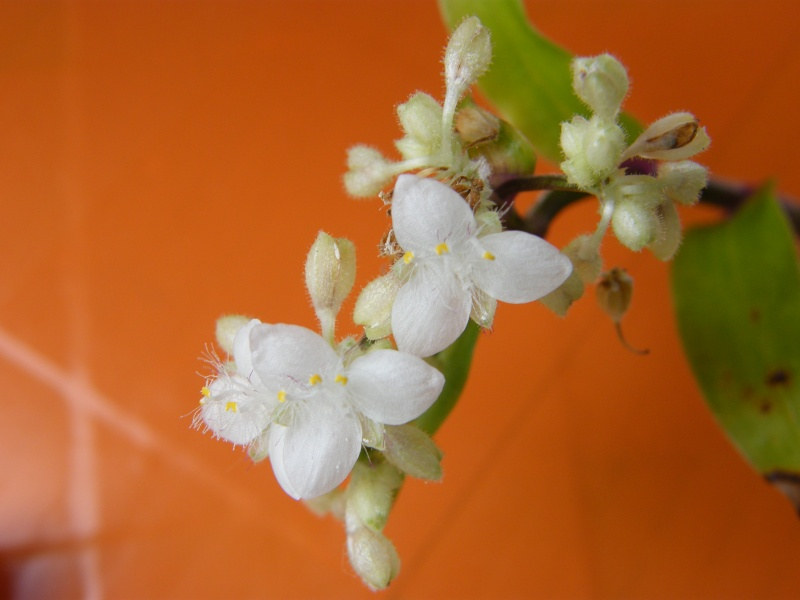 Tripogandra cumanensis Mai_2010