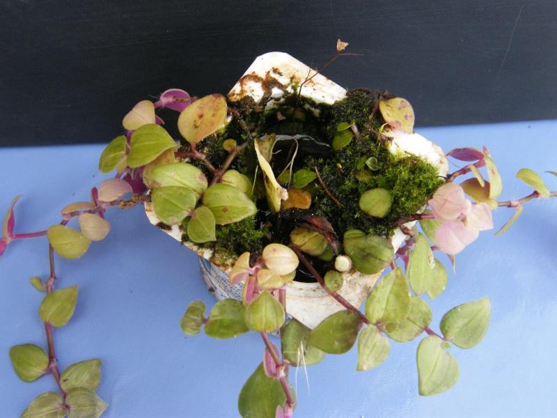 Qui est cette petite Commelinaceae ?  (10) Oct_2012