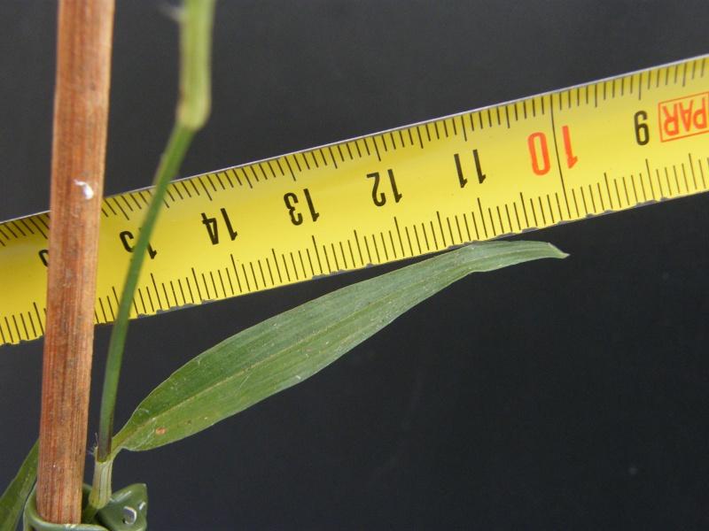 Qui est cette Commelinaceae 11 ? Oct_2013