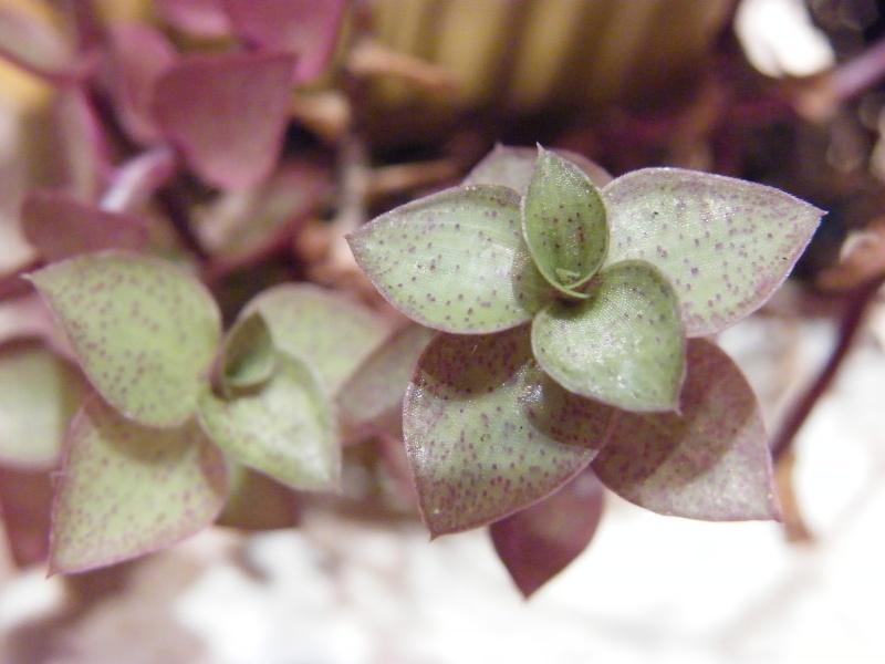 Petite  Commelinaceae  (7) [Callisia repens 'Bolivian Jewel' ] Sept_222