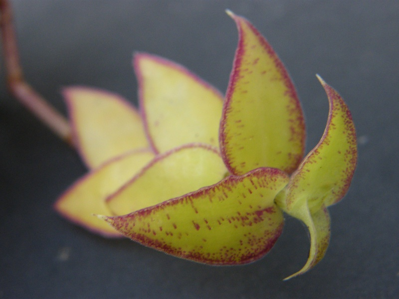 Qui est cette petite Commelinaceae ?  (8) Sept_226
