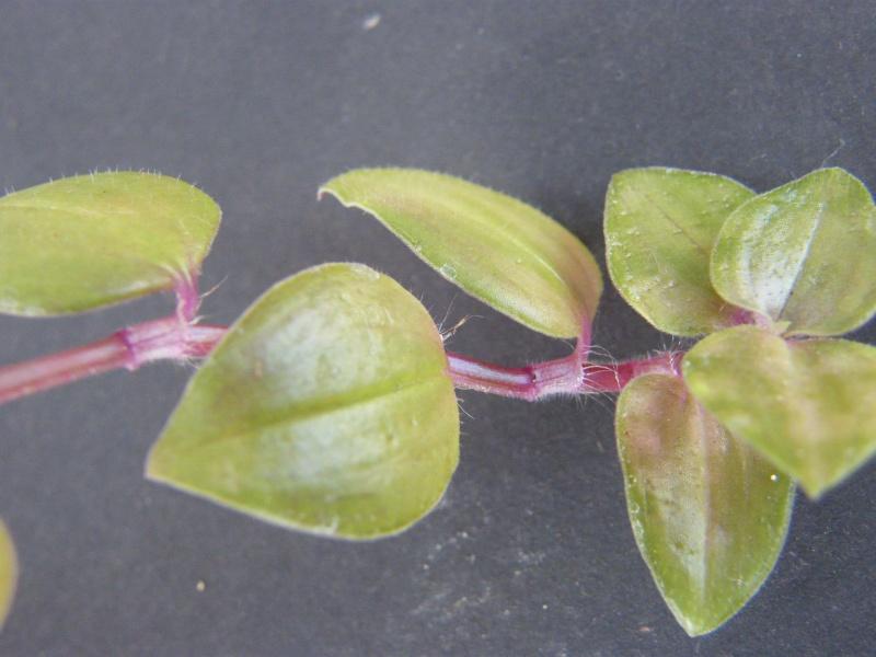 Qui est cette petite Commelinaceae ?  (10) Sept_230