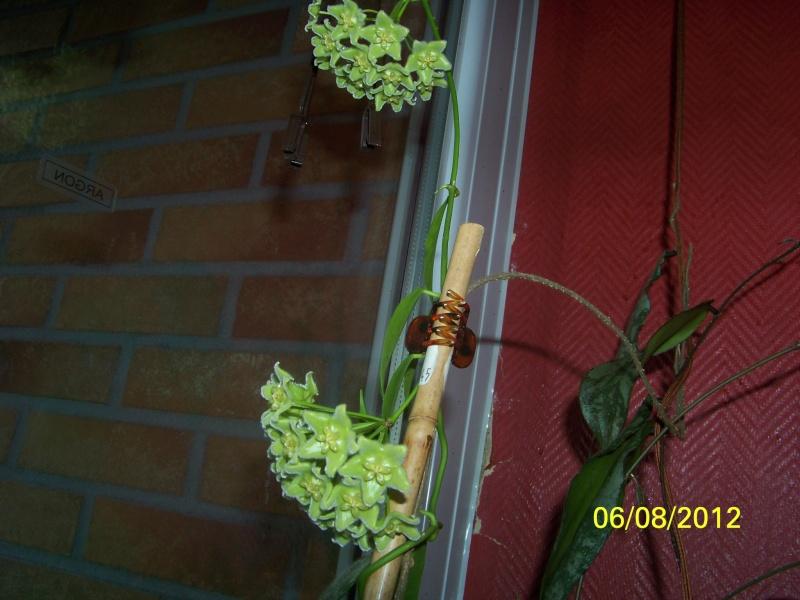 Hoyablüten 2012 - Seite 4 000_0014