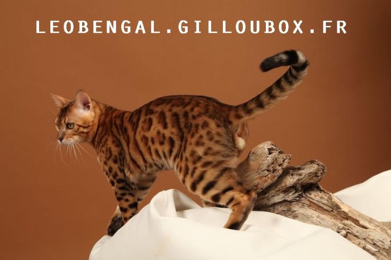 leobengal : Gaylord Bengal'issime Leoben10