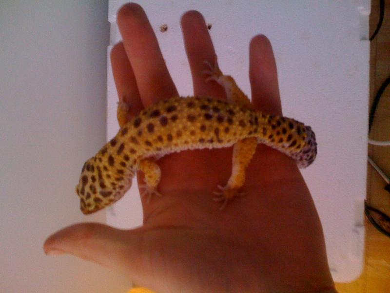 Mes geckos . Img_0812