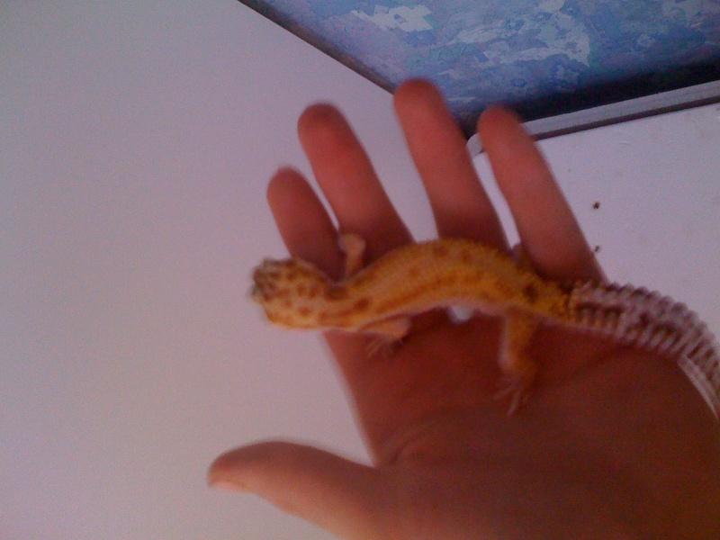 Mes geckos . Img_0816