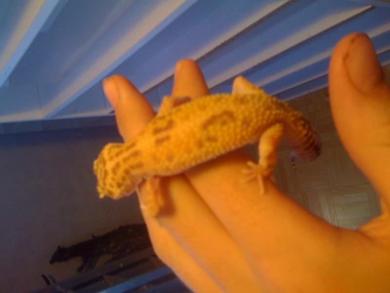 Mes geckos . Img_0818