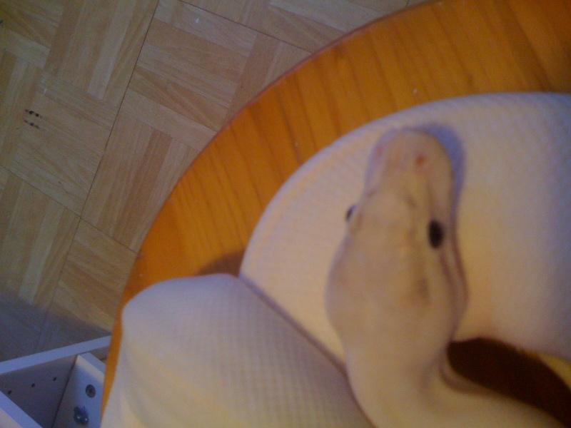 Voici une bete magnifique a regarder absolument mon IVORY Img_0821