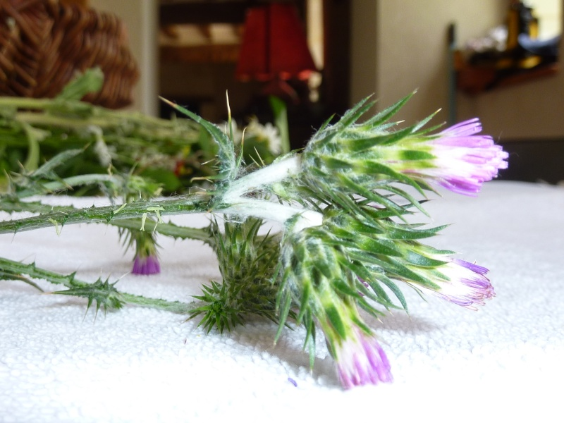 Identification pour herbier Chardo11