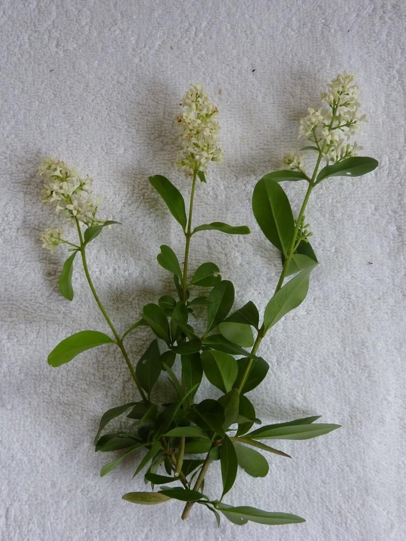 Identification pour herbier P1010825