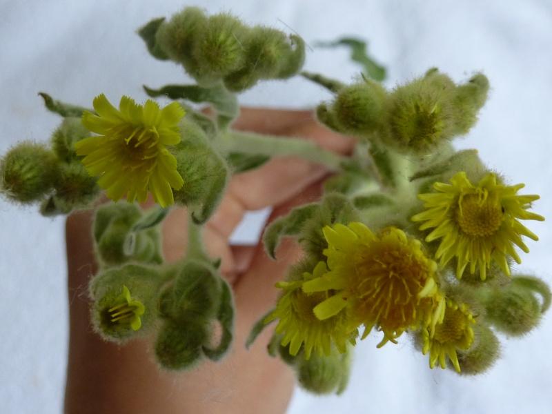 Identification pour herbier P1010826