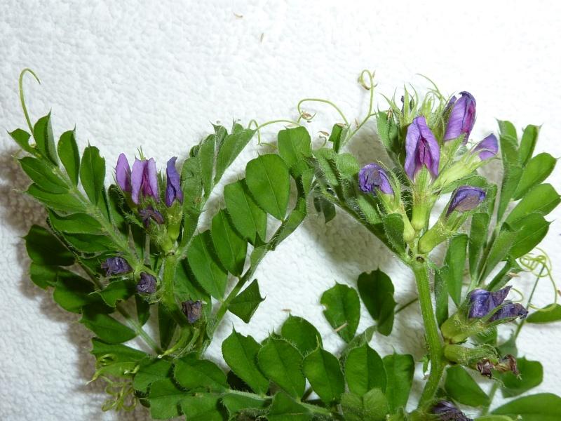 Identification pour herbier P1010827