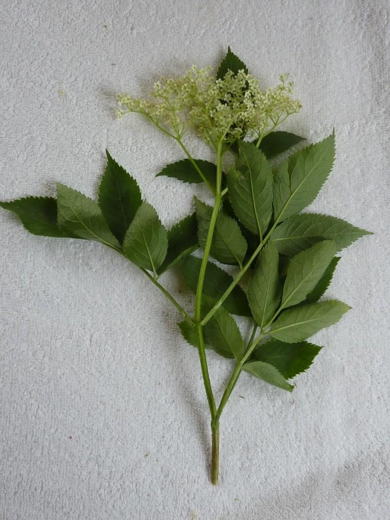 Identification pour herbier P1010828