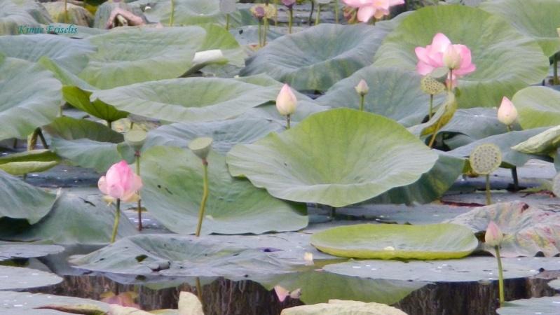 Amateur de Lotus (Nelumbo) Lotus_10