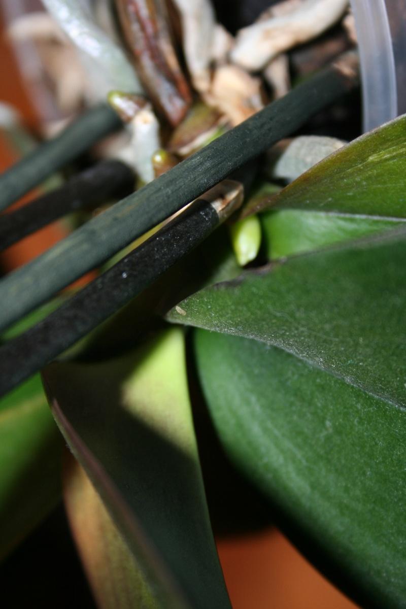 phalaenopsis elegant karin aloha Img_3221