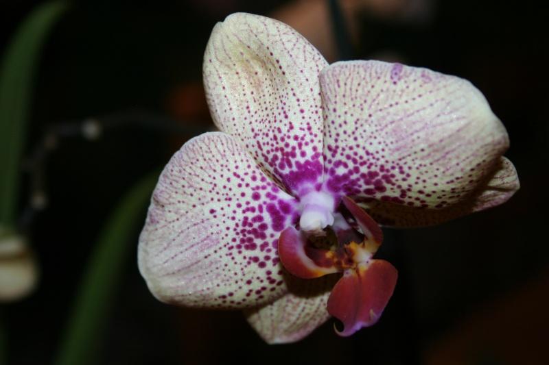 phalaenopsis elegant karin aloha Img_3223