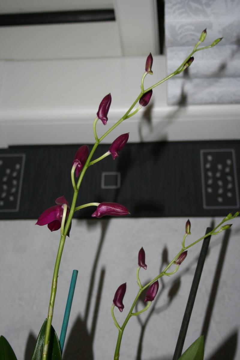 Dendrobium de type phalaenopsis thai black Img_3313