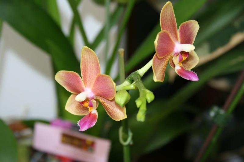 phalaenopsis orianne - Page 2 Img_3414