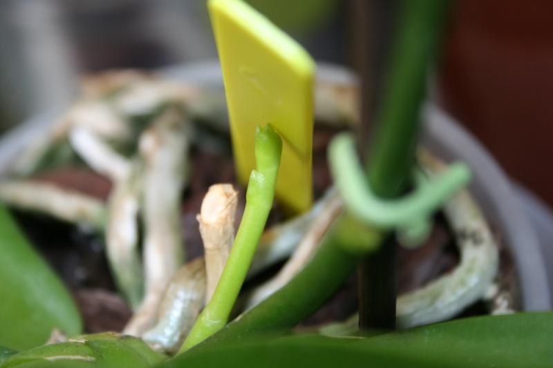 phalaenopsis orianne - Page 2 Img_3416
