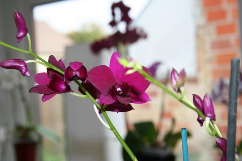 Dendrobium de type phalaenopsis thai black Img_3417