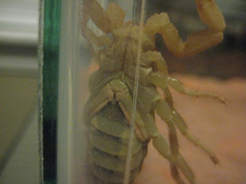 Sexing my Parabuthus Liosoma and Leiurus quinquestriatus New_sc13