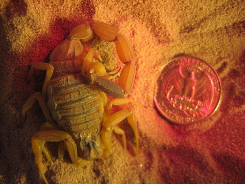 Sexing my Parabuthus Liosoma and Leiurus quinquestriatus P_li_a13