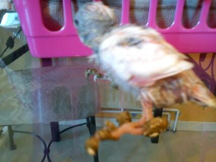 patte perruchon - sauvetage de perruchon sale abandonée Dsc00012