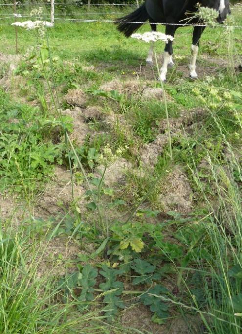 Heracleum sphondylium  [identification] A_id_310