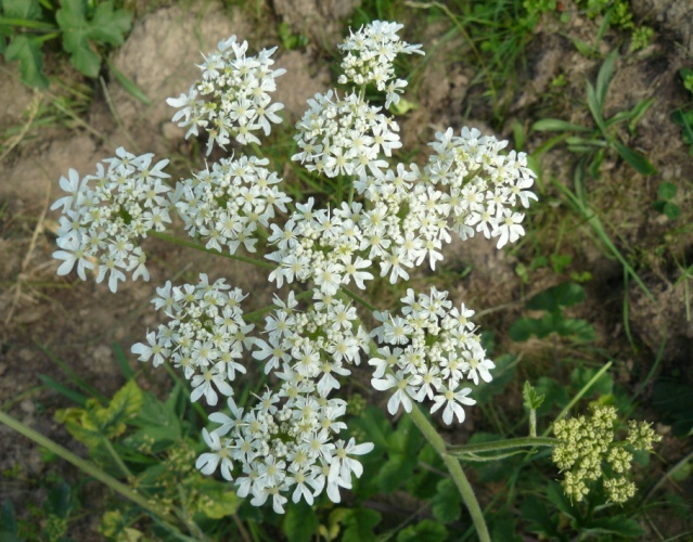 Heracleum sphondylium  [identification] A_id_312