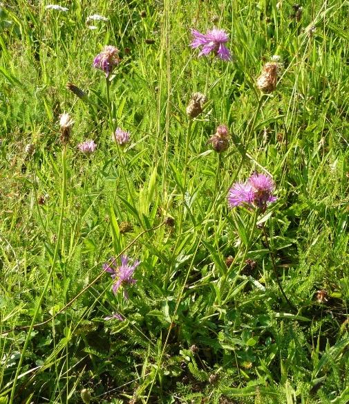 Centaurea jacea - centaurée jacée  Centau10